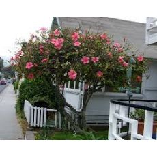 Hatmi Ağaç Fidanı Hibiscus Syriacus 6 Metre