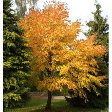 Huş Ağacı Fidanı Betula Alba 300 Cm