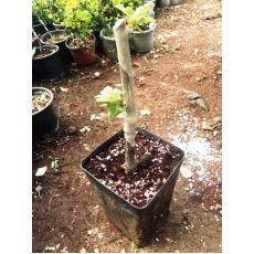 ıhlamur Fidanı Aşılı Tilia Tomentosa 20-30 Cm