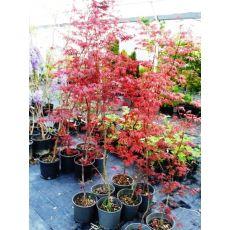 japon akçaağacı Acer Palmatum Attrepurpuru 20-30 Cm