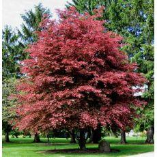 Kayın Ağacı Fidanı Aşılı Fagus Sylvatica Purpurea 40-60 Cm