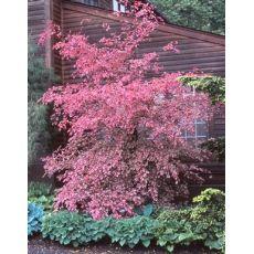 Kayın Ağacı Üç Renk Aşılı Fagus Sylvatica Purpurea Tricolor