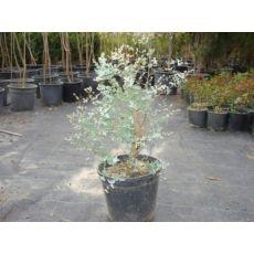 Okaliptus Ağacı Sıtma Ağacı 150-175 Cm