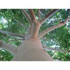 Okaliptus Ağacı Sıtma Ağacı oukiuptsus gummi 30-40 Cm