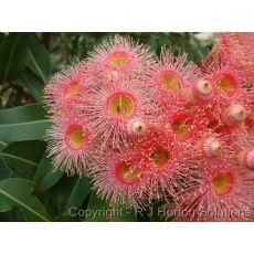 Okaliptus Ağacı Sıtma Ağacı oukiuptsus gummi 60-70 Cm