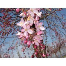 Süs Kirazı Sakura Prinus Serrulata Kanzan 220-250 Cm Gövde Çevresi 18-20 cm