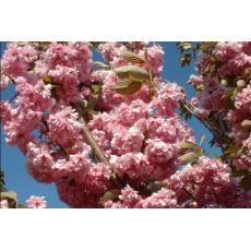 Süs Kirazı Sakura Fidanı Prinus Serrulata Kanzan 200-250 Cm