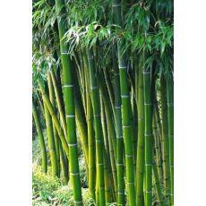 Bambu Fidanı Bambu Ağacı Phyllostachys Pubescens 100-120 Cm