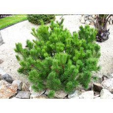 Bodur Fıstık Çamı İthal Pinus Mugo