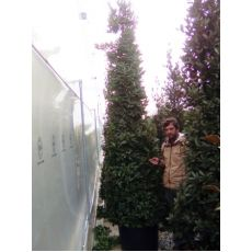 Defne Ağacı Fidanı Lauris Nobilis Pramidalis