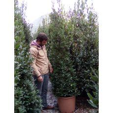 Defne Ağacı Fidanı Lauris Nobilis Pramidalis 200 Cm
