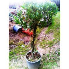 Defne Ağacı Fidanı Laurus Nobilis Top Şeklinde Saç Örgülü Gövde