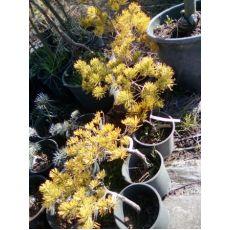 Fıstık Çamı Bodur Pinus Mugo Winter Gold