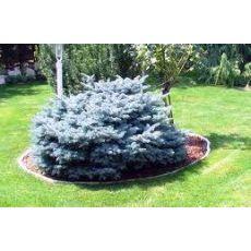 Mavi Ladin Fidanı Ağacı Bodur İthal Picea Pungens Glauca Globosa Nana 30-35 Cm Çapı