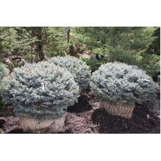 Mavi Ladin Fidanı Ağacı Bodur Picea Pungens Glauca Globosa Nana