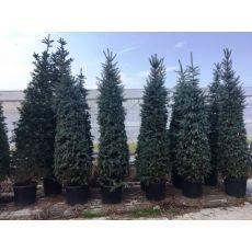 Mavi Ladin Fidanı Ağacı Yerli Picea Pungens Hopsii 200-250 Cm