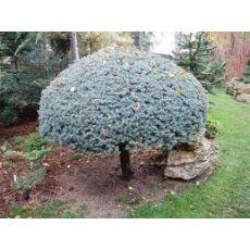 Mavi Ladin Fidanı Ağacı Tijli Picea Pungens Glauca