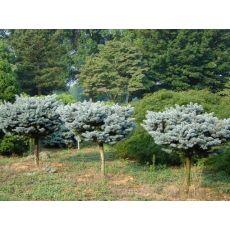 Mavi Ladin Fidanı Ağacı  İthal Tijli Picea Pungens Hoopsi Glauca Globosa 120-130 Cm
