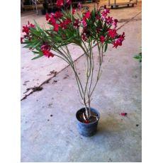 Zakkum Fidanı Zakkum Ağacı Kırmızı Çiçekli Nerium Olander