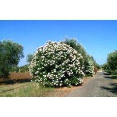 Zakkum Fidanı Zakkum Ağacı Beyaz Çiçekli 70-90 Cm  Nerium Oleander
