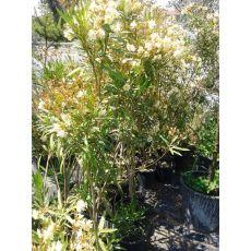 Zakkum Fidanı Zakkum Ağacı Beyaz Renkli Nerium Olander