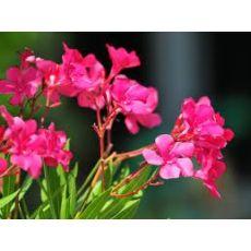Zakkum Fidanı Zakkum Ağacı Pembe Çiçekli Nerium Olander