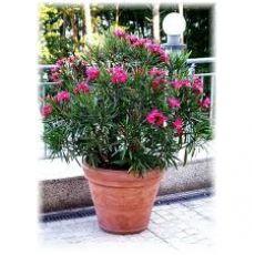 Zakkum Fidanı Zakkum Ağacı Pembe Çiçekli  Nerium Olander 120-130 Cm