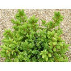 Batı Ladini Bodur Aşılı Picea Abies Nana 30-40 Cm
