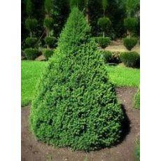 Batı Ladini Bodur Aşılı Picea Abies Nana