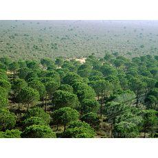 Fıstık Çam Pinus Pinea 200-250 Cm
