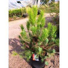Fıstık Çamı İthal Pinus Pinea Silver Crest 60-80 CM