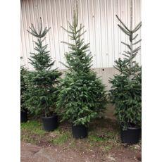 Yılbaşı Ağacı Göknar 250-275 Cm