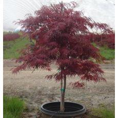 japon Akçaağacı Aşılı Acer Palmatum Dissectum