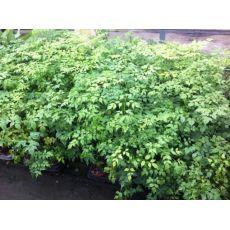 Radermeşera bitkisi İthal Radermachera 15-20 Cm