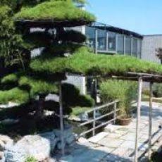 Kara Çam Fidanı Karaçam Pinus Nigra 40-50 Cm