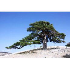 Kara Çam Fidanı Karaçam Pinus Nigra 60-80 Cm
