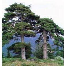 Kara Çam Fidanı Karaçam Pinus Nigra 140-160 Cm