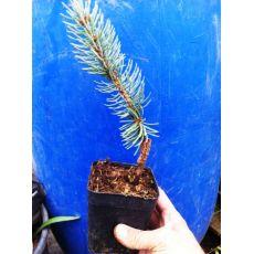 Mavi Ladin Fidanı Ağacı Picea Pungens Hopsii 20-25  Cm 2 Yaşında