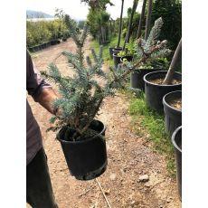 Mavi Ladin Fidanı Ağacı İthal Picea Pungens Hopsii 25-35 Cm 3 Yaşında