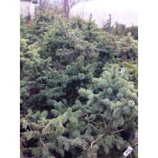 Yılbaşı Ağacı Mavi Ladin Tohumdan Üretim  Picea Pungens  100-120  Cm