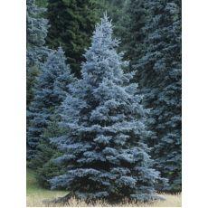 Mavi Ladin Fidanı Ağacı İthal Picea Pungens Hopsii 200-225 Cm