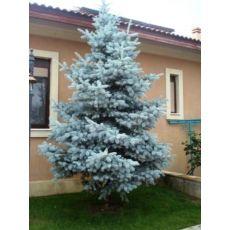 Mavi Ladin Fidanı Ağacı İthal Picea Pungens Hoopsii 175-200 Cm