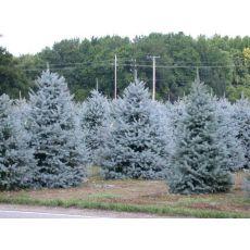 Mavi Ladin Fidanı Ağacı İthal Picea Pungens Hopsii 275-300 Cm
