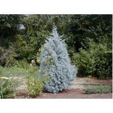 Mavi Selvi Aşılı Servi Cupressus Sempervirens Arizona Glauca 20 Cm