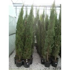 Mezarlık Selvisi Ağacı Fidanı Adi Servi Yerli Üretim Cupressus sempervirens