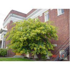 Mimoza Ağacı Fidanı Tekli Dikim Acacia Dealbata 350-400 Cm