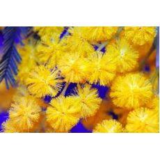 Mimoza Ağacı Fidanı Acacia Dealbata 2 li Dikim 500 Cm