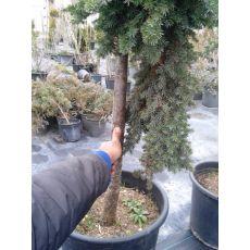Sürünücü Ardıc İbuki Ardıcı Juniperus Procumbens Nana