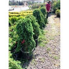 Sürünücü Ardıc İbuki Ardıcı Juniperus Procumbens Nana 130-140 Cm