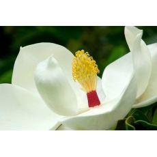 Yaprak Dökmeyen Manolya Aşılı Magnolia Grandiflora 120-140 Cm